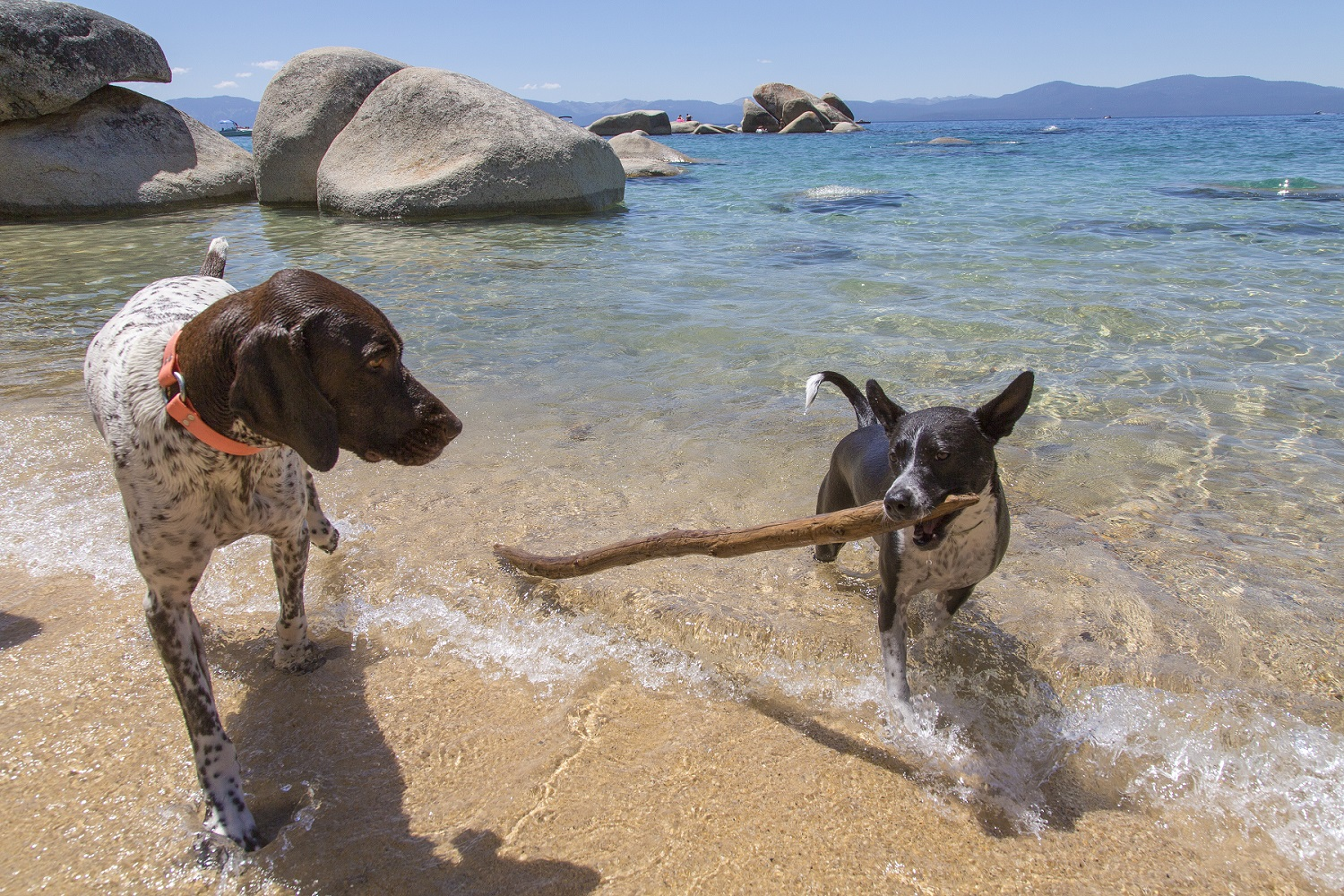 Two dogs emerge from Lake Tahoe at Whale Beach after fetching a large stick from the water.