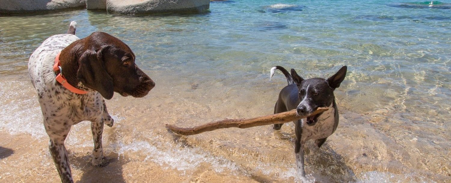 two dogs playing with a stick at lake tahoe